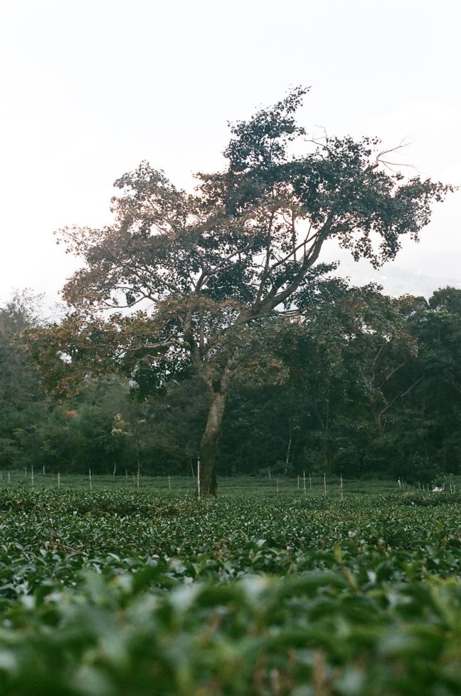 台灣南投紅香的一處茶園